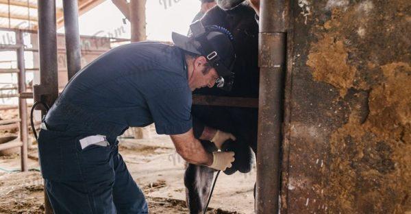 Ультразвуковой сканер для коров